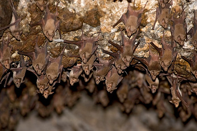 Greater mouse-tailed bat (Rhinopoma microphyllum)  יזנוב גדול