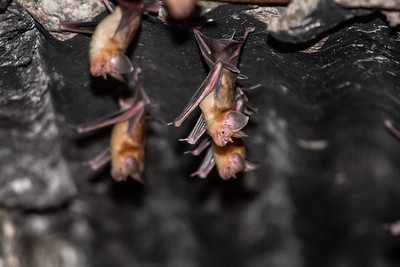Trident Leaf - nosed Bat (Asellia tridens)  פרספון מצוי