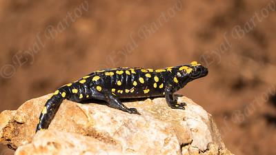 Fire Salamander (Salamandra salamandra) סלמנדרה כתומה