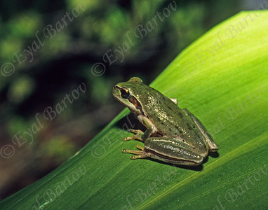 Middle East tree frog -Hyla savignyi - אילנית מצויה