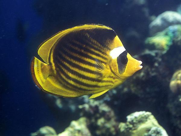 Striped Butterflyfish.jpg