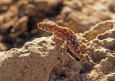 ישימונית מצויה - Lichtenstein's short-fingered gecko  -  Stenodactylus sthenodactylus