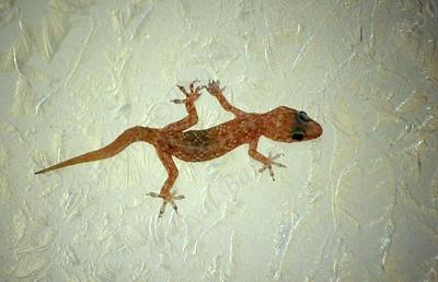 Mediterranean house gecko  (Hemidactylus turcicus) שממית הבתים