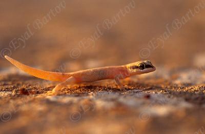 Natterer's gecko (Tropiocolotes nattereri )  שממית זוטית