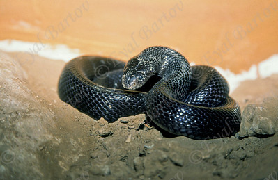 black desert cobras -Walterinnesia aegyptia - פתן שחור