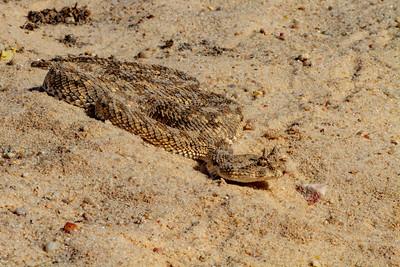 Saharan Horned Vipers - Cerastes cerastes- עכן החרטומים