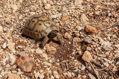 Greek tortoise (Testudo graeca) צב יבשה מצוי