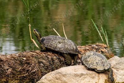 Western Caspian turtle (Mauremys rivulata)