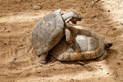 Negev Tortoise (Testudo werneri) צב יבשה מדברי
