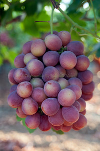 Ripe Grapes-302