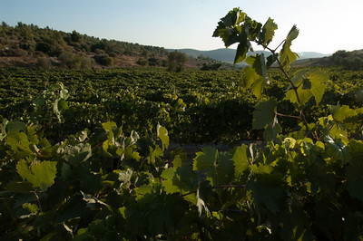 Vineyard-Emek HaEla 114