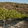 Vineyard-Emek HaEla 110