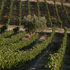 Vineyard-Emek HaEla 104