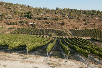 Vineyard-Emek HaEla 107