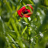 YHalevi-Israel Wildflowers 2018-17