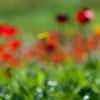 YHalevi-Israel Wildflowers 2018-16