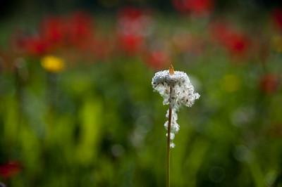 YHalevi-Israel Wildflowers 2018-15