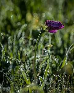 YHalevi-Israel Wildflowers 2018-2
