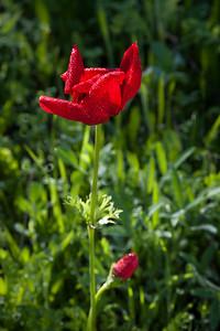 YHalevi-Israel Wildflowers 2018-7
