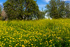 Crown daisy and yellow mustard flowers in the Beeri Forest, Negev, Israel, Middle East.