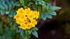 Closeup of Yellow Trumpetbush flowers near the Dead Sea, Israel, Middle East.