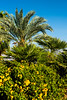Tropical foliage and Yellow Trumpetbush flowers near the Dead Sea, Israel, Middle East.