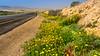 Wildflowers blooming in Ein Avdat National Park, Negev Desert, Israel, Middle East.