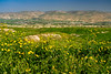 Yellow wildflowers in the hills of the Jordan River Valley, Israel, Middle East.