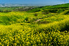 Yellow flowers in the hills of the Galilee near Tiberias, Israel, Middle East.