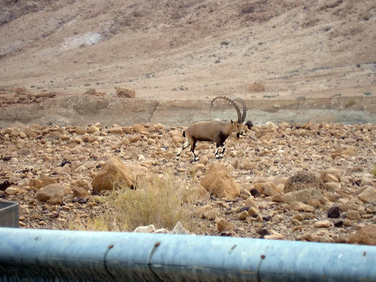 Mountain Goat near a Pipeline
