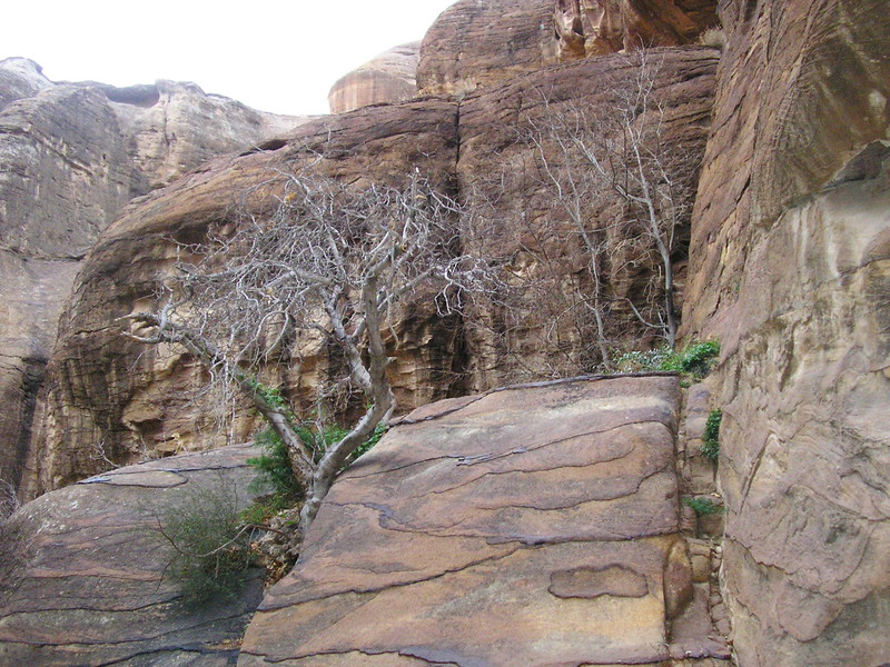 Wild Fig Tree in As-Siq