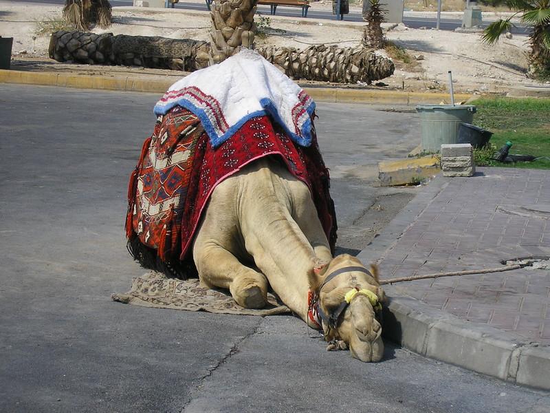 Resting Camel