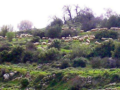 Sheep at the Kibbutz