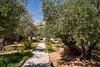 The Garden of Gethsemane on the Mount of Olives in Jerusalem, Israel, Middle East.