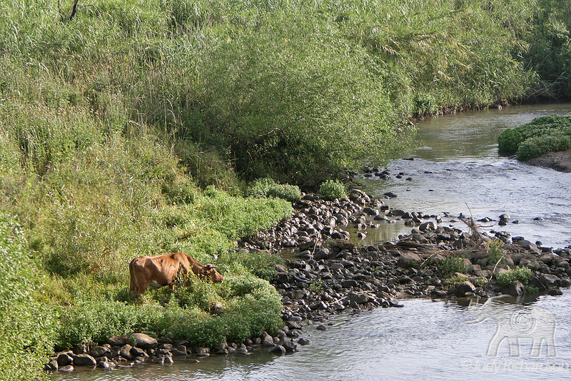 Jordan River with Red Cow