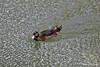 Duck in Jordan River