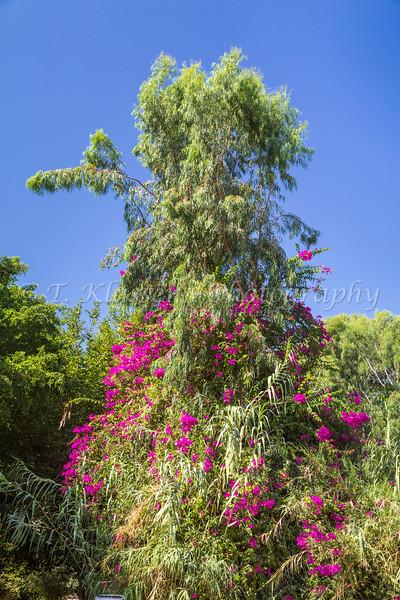 Bougainvillea flowers near the Jordan River, Galilee, Israel, Middle East.