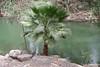 Jordan River Palm