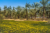 Date palms and Crown daisy wildflowers along the Jordan Valley, Israel, Middle East.