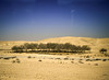 Stand of Trees, Desert, near Be'er Sheva, Israel