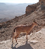 Ibex, Edge of the Crater, Mitzpe Ramon, Israel