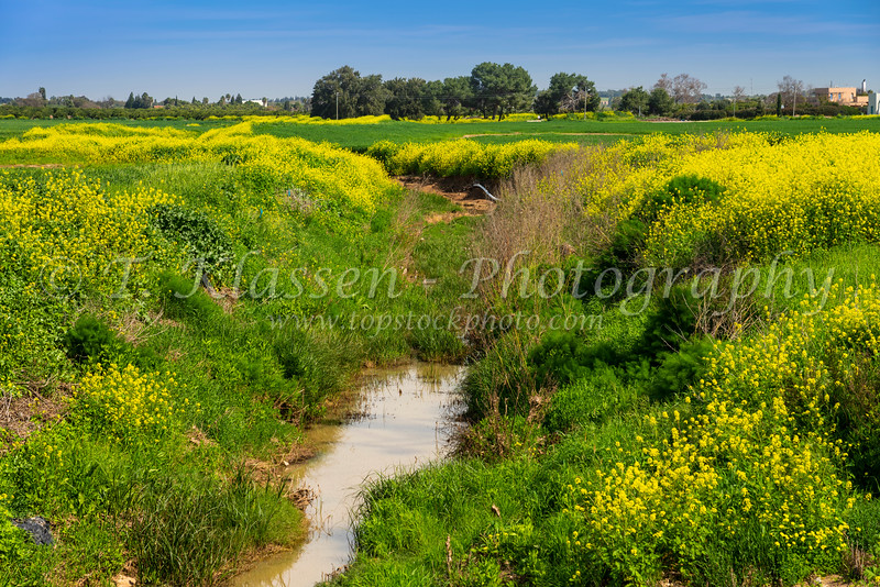 Yellow wildflowers near the Beeri Forest in rural Israel, Middle East