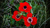 Closeup of the red Anemone coronaria wildflower, Israel, Middle East.