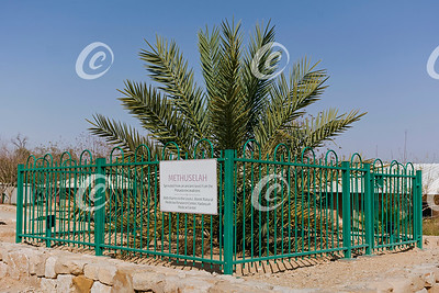 Unique Date Palm Tree Grown from Ancient Seed