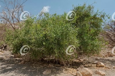 A Toothbrush Tree in a Restored Desert Habitat in Israel