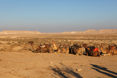 Camels await their passengers