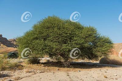 Massive Spiraled Acacia Oasis in the Makhtesh Ramon Crater in Israel