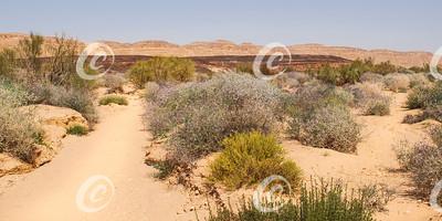 Flowering Desert Shrubs in Makhtesh Ramon Crater in Israel