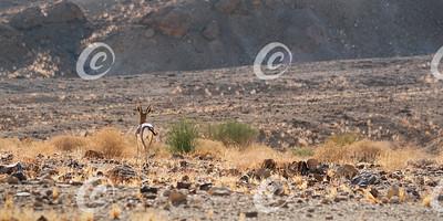 Dorcas Gazelle Heading for the Dry Desert Hills in Israel