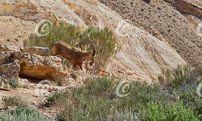 Nubian Ibex Capra nubiana in Wadi Karkash near Sde Boker in Israel